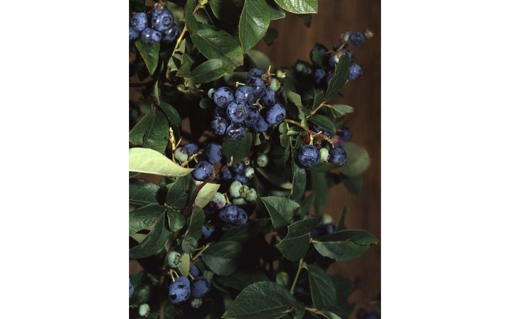 Vaccinium corymbosum Brigitta blue