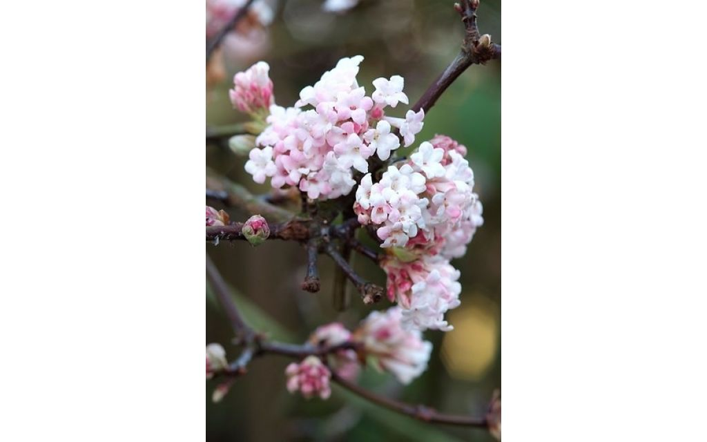 Sneeuwbal - Viburnum bodnantense Dawn