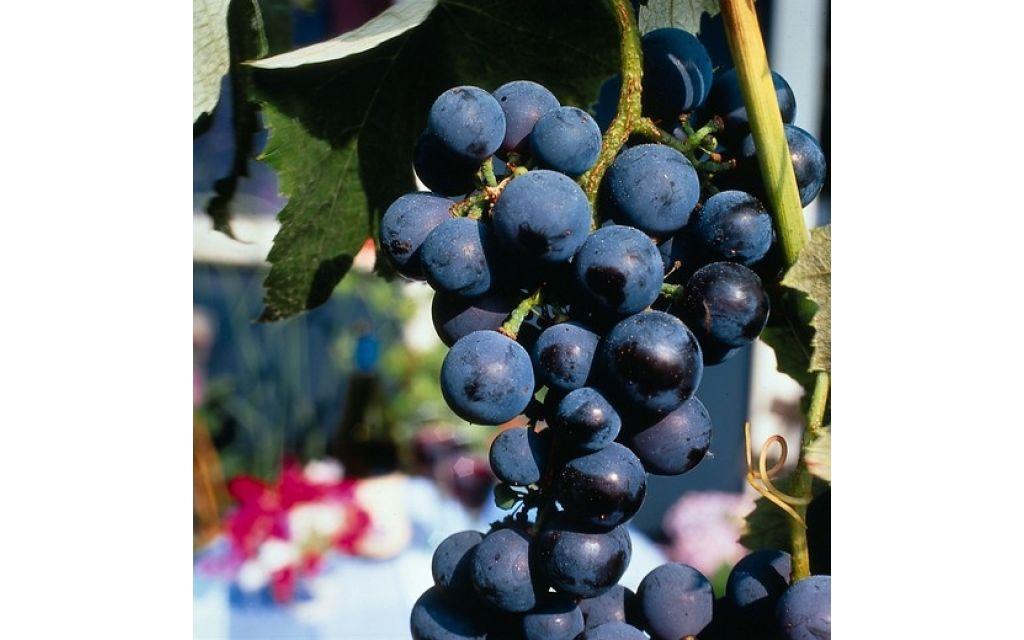 Vitis vinifera Boskoop glory - Blauwe druif