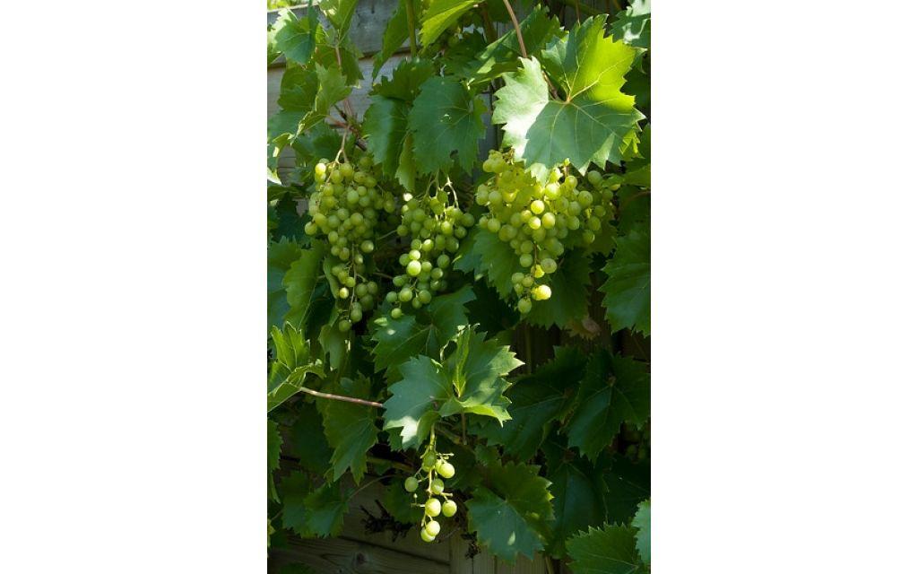Vitis vinifera Vroege van der laan - witte druif