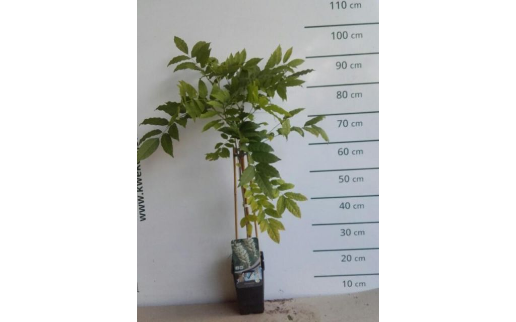 Witte regen - Wisteria sinensis Alba