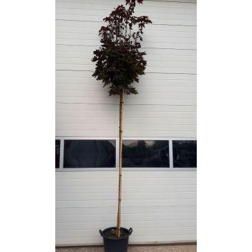 Rode Bolesdoorn - Acer platanoidus Crimson Centry