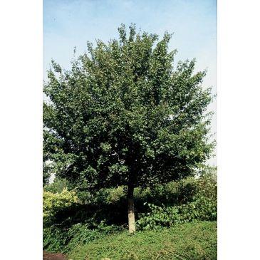 Acer campestre 'Elsrijk' - Veldesdoorn