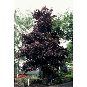 Noorse esdoorn - Acer platanoides Royal Red