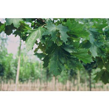 Noorse eddoorn - Acer platanoides