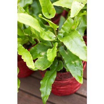 Tongvaren - Asplenium scolopendrium