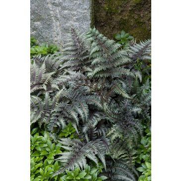 Japanse regenboogvaren - Athyrium niponicum Pewter Lace