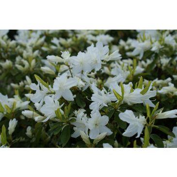 Azalea - Rhododendron Adonis