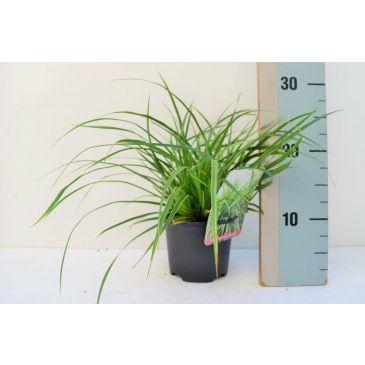 Zegge - Carex morrowii Aureovariegata