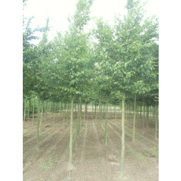 Carpinus betulus leivorm - Lei-haagbeuk