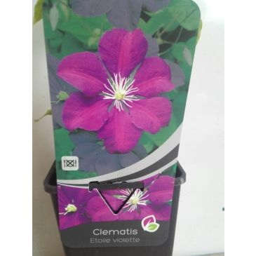 Clematis Etoille Violette'