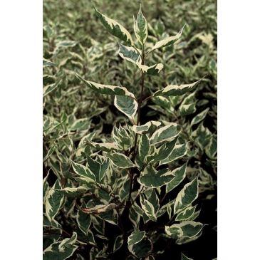 Bonte kornoelje - Cornus alba Elegantissima
