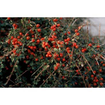 Dwergmispel - Cotoneaster suecicus Coral Beauty