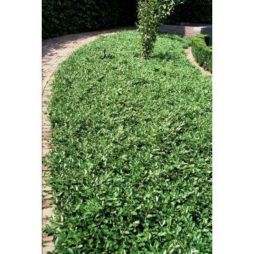 Bodembedekkers kopen kwekerij klein - Cotoneaster dammeri green carpet ...