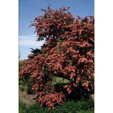 Rode meidoorn - Crataegus 'Paul's Scarlet' boom