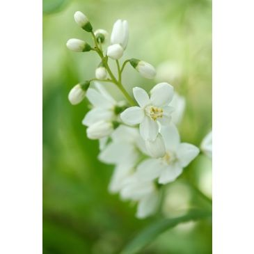 Bruidsbloem - Deutzia gracilis