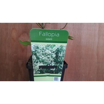 Fallopia aubertii