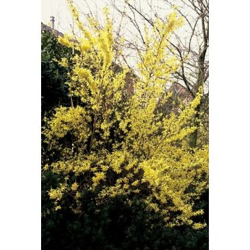 Chinees klokje - Forsythia intermedia Spectabilis