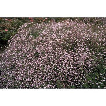 Gypsophila rosenschleier