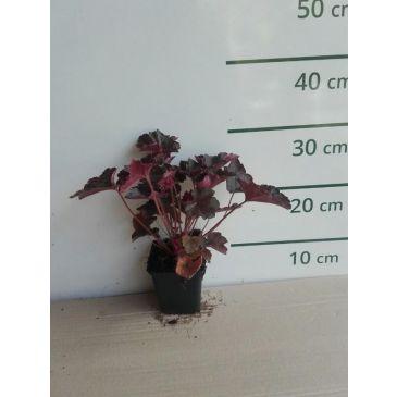 Purperklokje - Heuchera micrantha Palace Purple