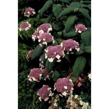 Fluweelhortensia - Hydrangea aspera Macrophylla
