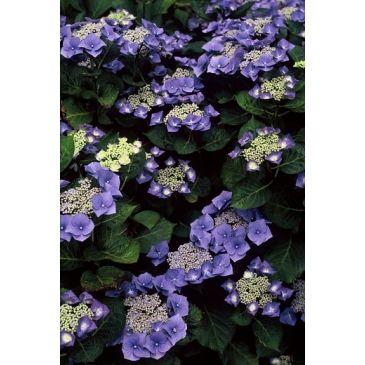 Hydrangea macrophylla Blaumeise - Hortensia
