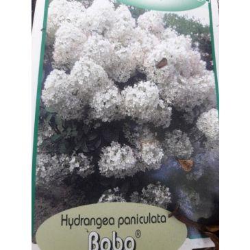 Pluimhortensia - Hydrangea paniculata Bobo