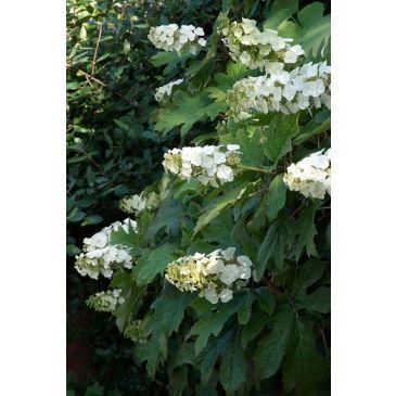 Pluimhortensia - Hydrangea paniculata 'Candlelight'