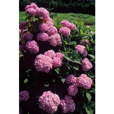 Hydrangea macrophylla Bouquet rose - Bolhortensia