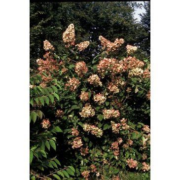 hydrangea pinkywinky