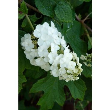 Pluimhortensia - Hydrangea paniculata Silver Dollar