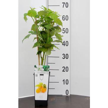 Framboos - Rubus idaeus Golden Everest