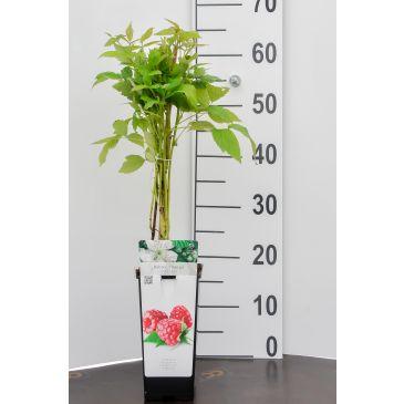 Framboos - Rubus idaeus Herritage