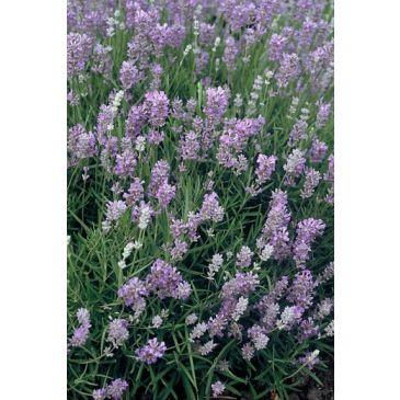 Lavendel - Lavendula angustifolia 'Munstead'
