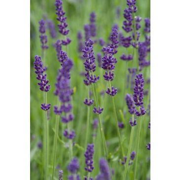 """Lavandula angustifolia """"Hidcote""""- Lavendel"""