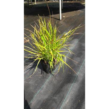 Ruige veldbies - Luzula pilosa Igel