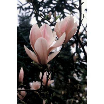 Magnolia - Magnolia soulangeana