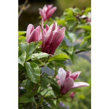 Beverboom - Magnolia Susan