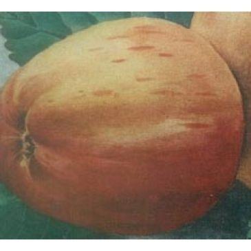 Malus 'Rode Tulpappel'