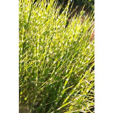 Prachtriet - Miscanthus sinensis Herman Mussel
