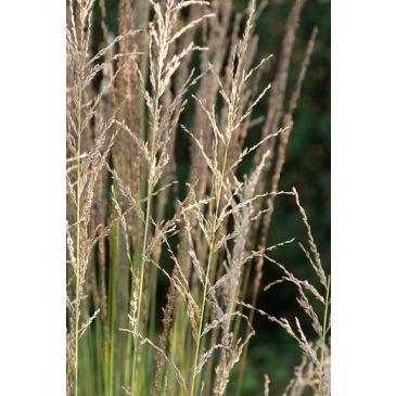 Pijpestrootje - Molinia caerulea Moorhexe