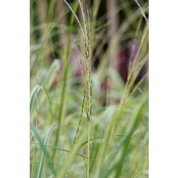 Pijpestrootje - Molinia caerulea Variegata