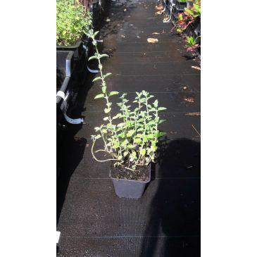 Kattenkruid - Nepeta racemosa Little Titch