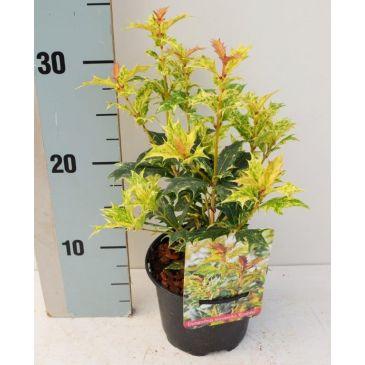 Schijnhulst - Osmanthus heterophyllus 'Goshiki'
