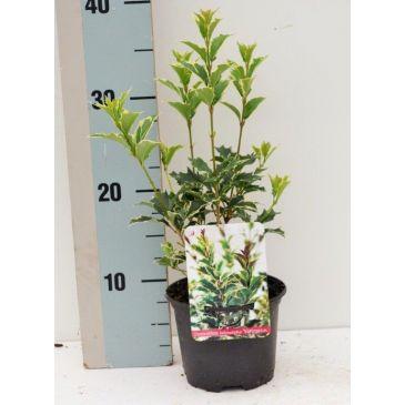 Schijnhulst - Osmanthus heterophyllus Variegatus