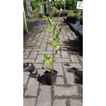 Duizendknoop - Persicaria amplexicaulis JS Caliente