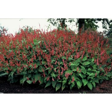 Adderwortel - Persicaria amplexicaulis Speciosa