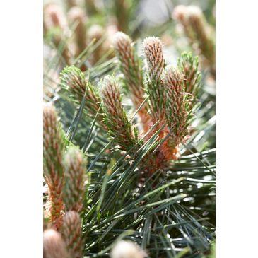 Oostenrijkse den - Pinus nigra nigra