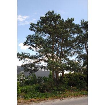 Grove den - Pinus sylvestris