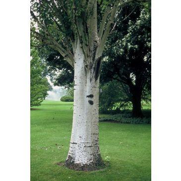 Zilverpopulier - Populus alba
